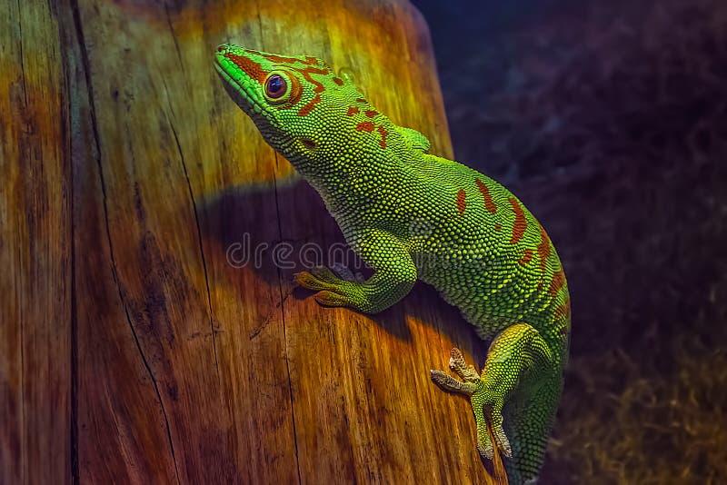 Madagascariensis do madagascariensis de Phelsuma do geco do dia de Madagáscar fotos de stock