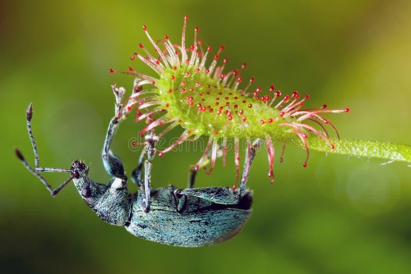 Madagascariensis Phyllobius και drosera στοκ εικόνες με δικαίωμα ελεύθερης χρήσης