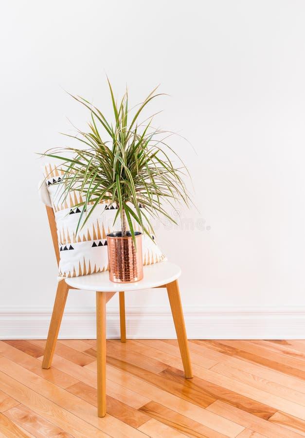 Madagaskar-Drachenbaum auf einem stilvollen Stuhl lizenzfreies stockbild