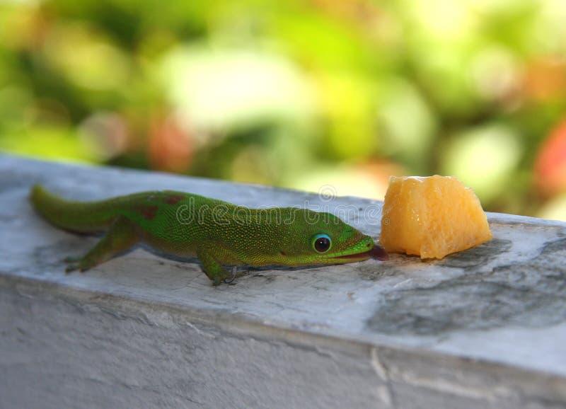 Madagaskar-Gecko stockbild