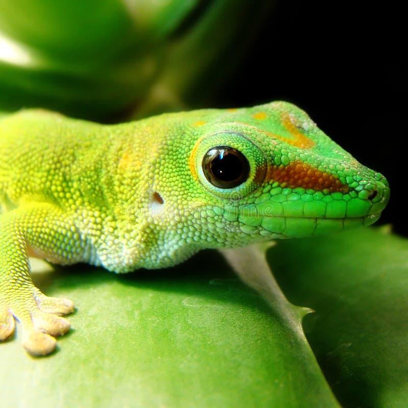 Madagaskar-riesiger TagesGecko lizenzfreies stockfoto
