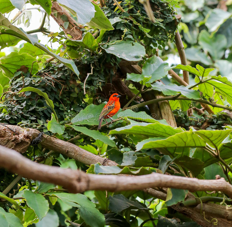 Madagaskar rotes Fody, hauptsächlicher Vogel in einem Zoo lizenzfreies stockfoto