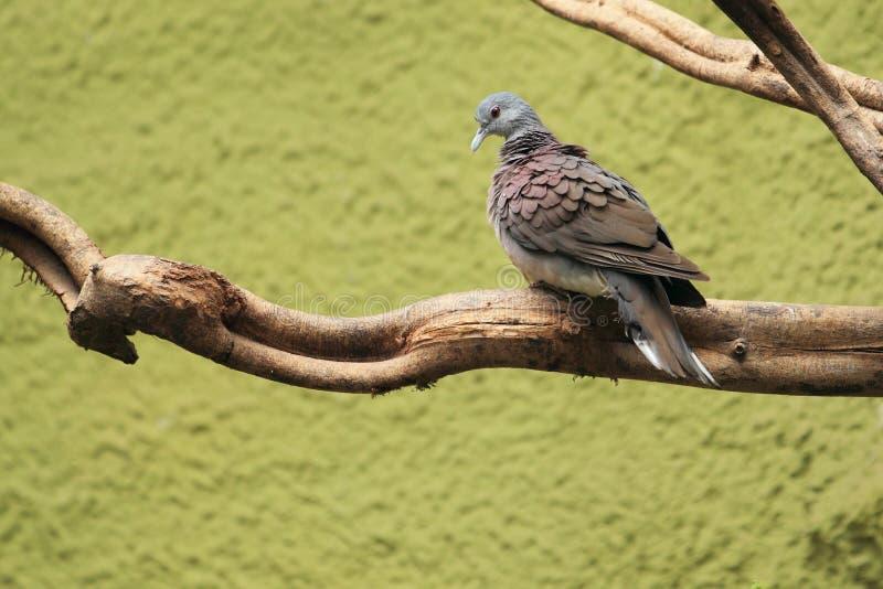 Madagaskar-Schildkrötetaube stockfotografie