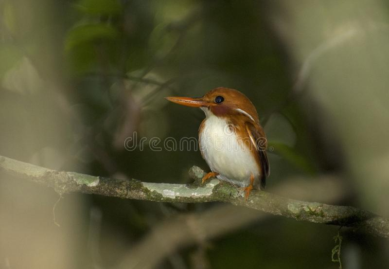 Madagaskardwergijsvogel, Madagascar Pygmy-Kingfisher, Corythornis madagascariensis. Madagaskardwergijsvogel, Madagascar Pygmy-Kingfisher royalty free stock photo