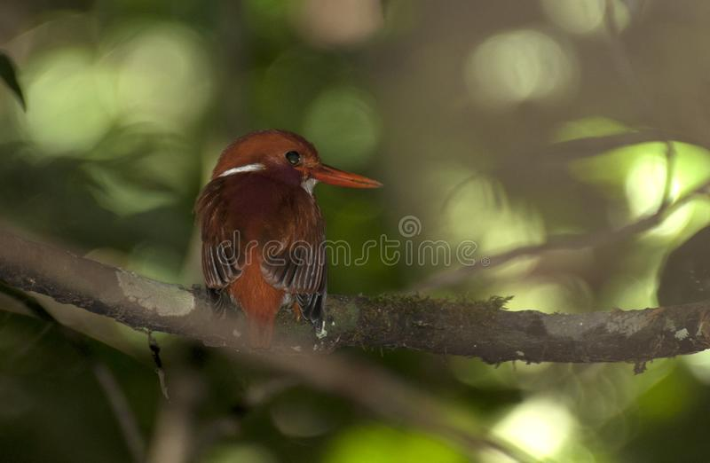 Madagaskardwergijsvogel, Madagascar Pygmy-Kingfisher, Corythornis madagascariensis. Madagaskardwergijsvogel, Madagascar Pygmy-Kingfisher royalty free stock photos