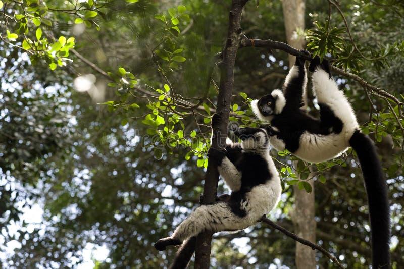 MadagaskarLemur lizenzfreie stockbilder