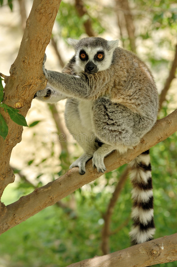 Madagaskars Ring-tailed Lemur stockfotos
