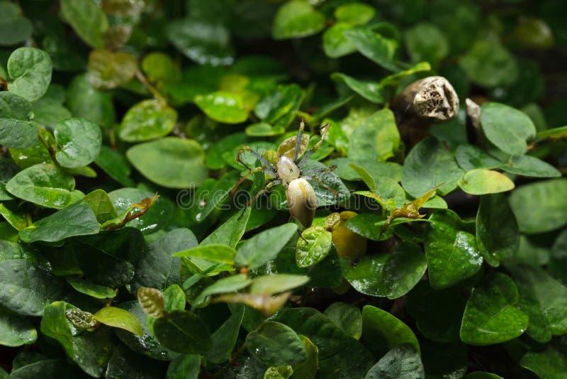 Madagassisk gr?n lodjurspindelPeucetia madagascariensis royaltyfri bild
