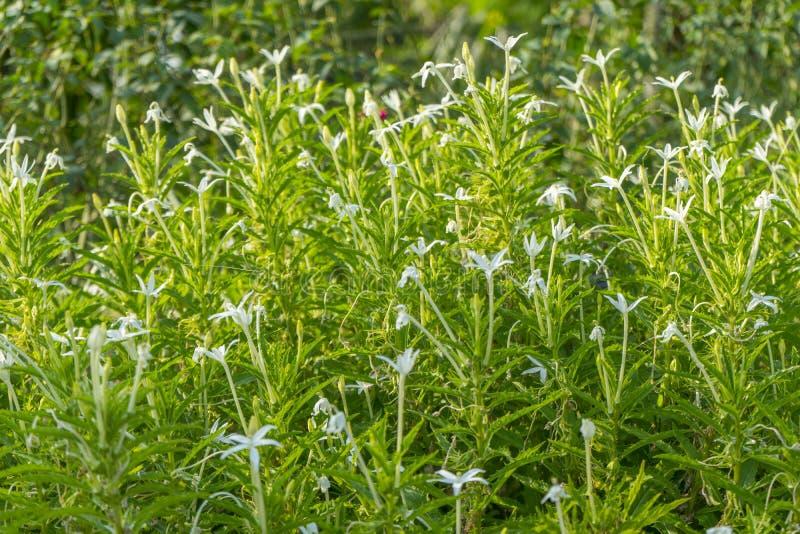 Madam przeznaczenie roślina w natura ogródzie obrazy stock