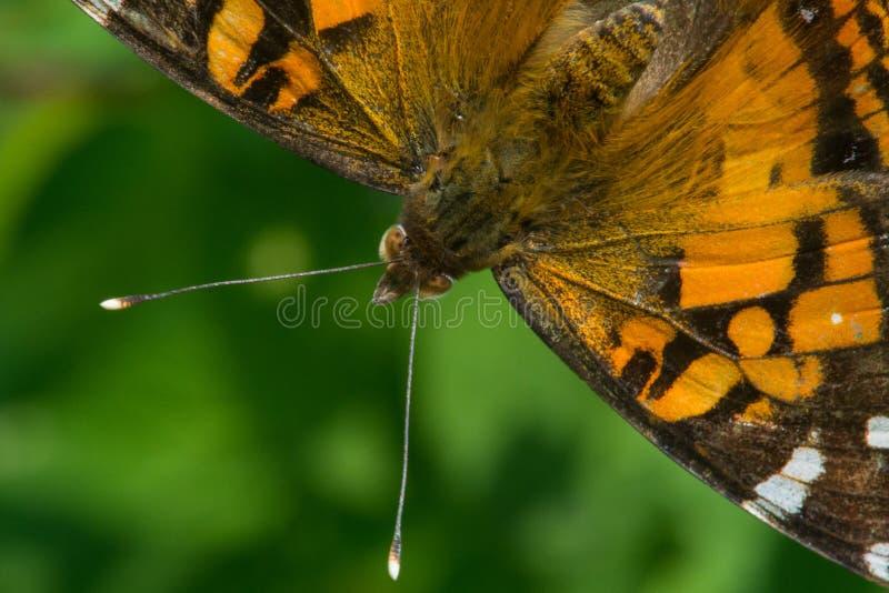 Download Madame américaine image stock. Image du ailes, anomalie - 45362427