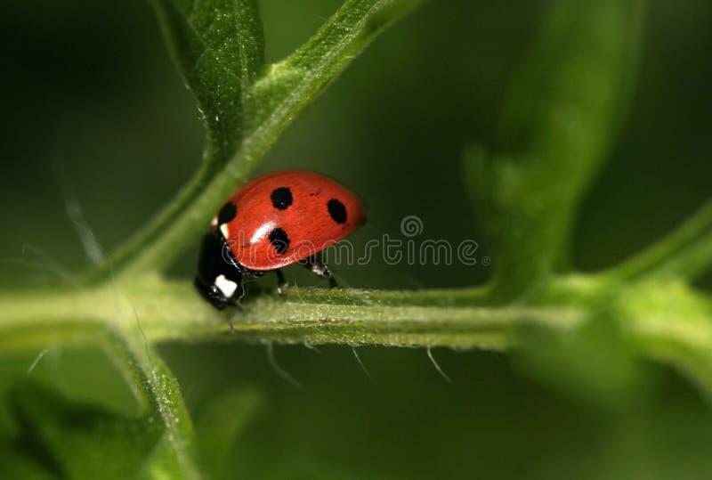 Madame Bug image libre de droits