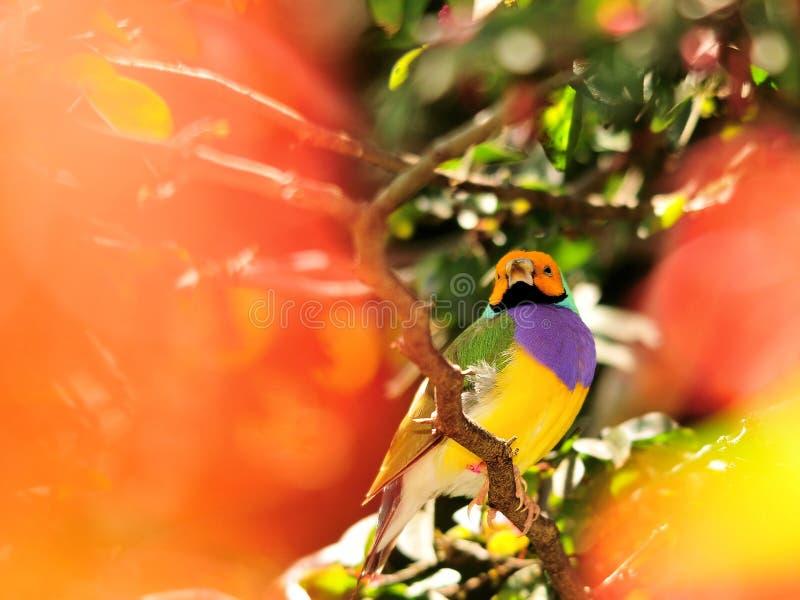 Madame Gouldian Finch Bird images stock