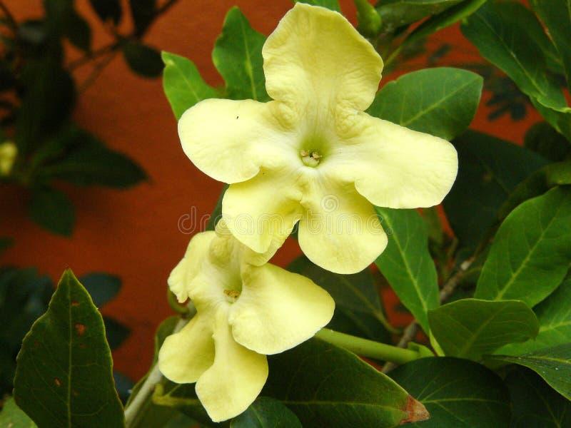 Madame jaune de fleur de la nuit images stock