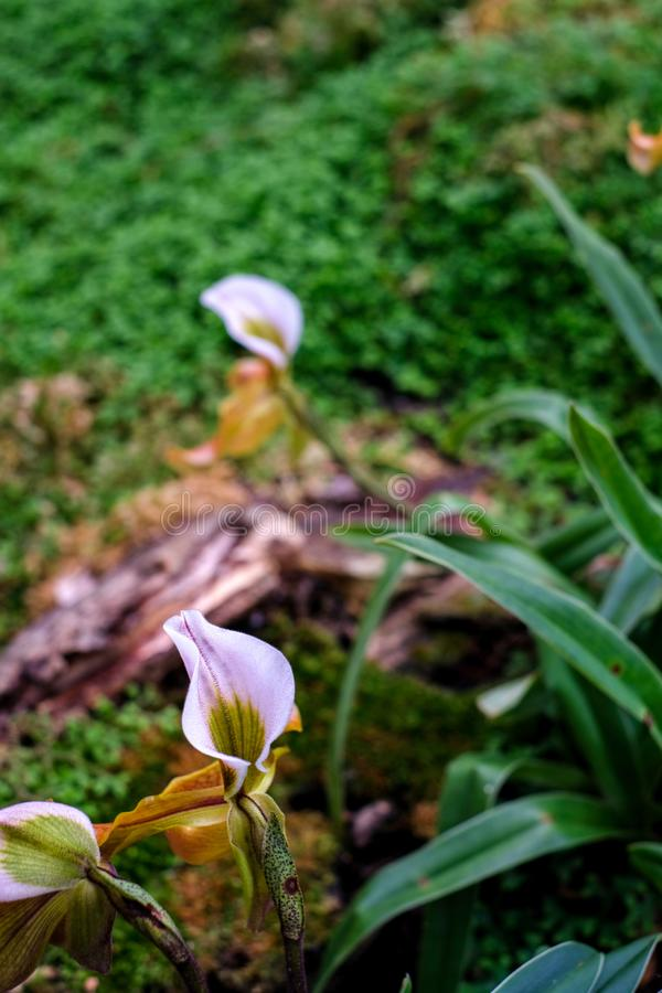 Madame Slipper Orchid images stock