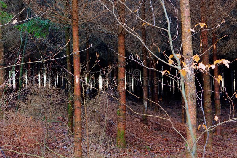 Madeira assustador do pinheiro, Hoegne, Ardennes, Bélgica foto de stock royalty free