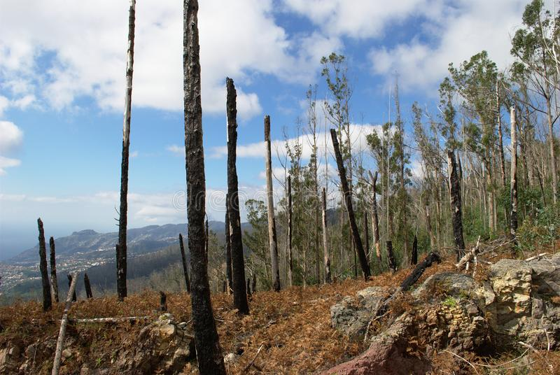 Madeira after a bush fire. Madeira after a catastrophic bush fire. Trees are burned, but new ones are growing stock photos