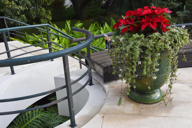Christmas Poinsetttia flowers in Garden in Funchal on the island of Madeira. Madeira is called the island of Eternal Spring and is covered by amazing flowers of royalty free stock photography