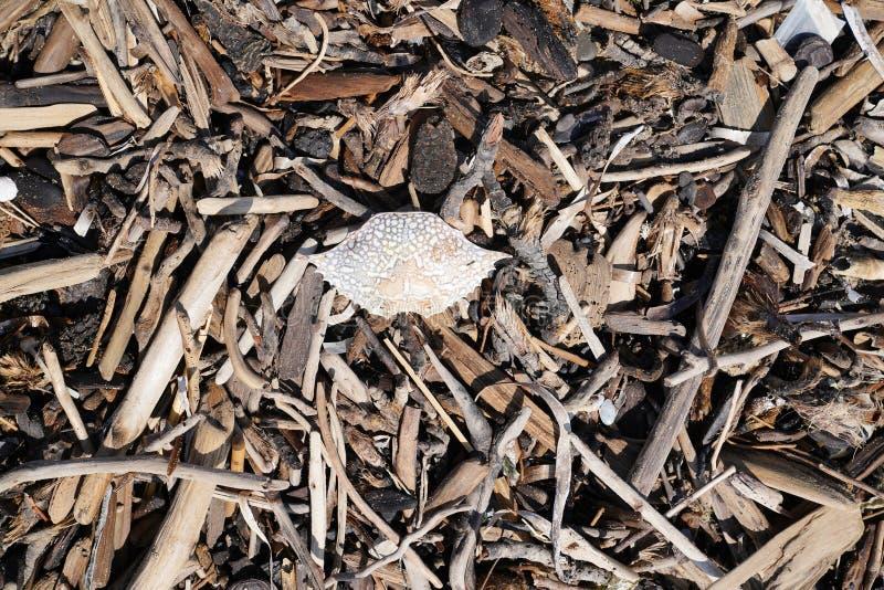 Madeira da madeira lançada à costa ou da tração e um shell inoperante do caranguejo empilhado em uma praia fotografia de stock