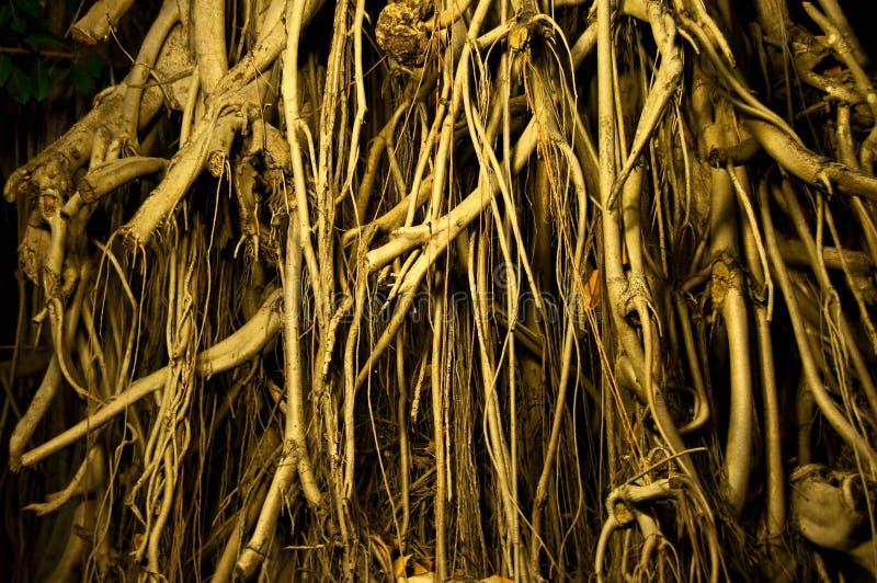 A madeira da raiz foto de stock royalty free