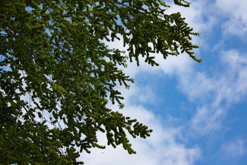 madeira de florescência do Linden da árvore das flores contra o céu azul, a nuvem e o sol imagens de stock royalty free