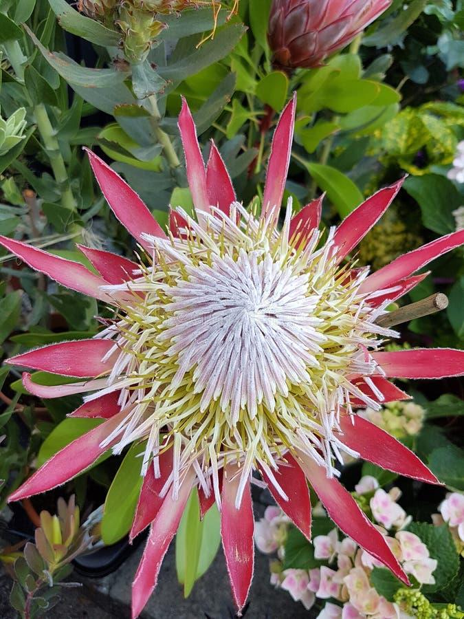 Madeira flower. Protea magnifica madeira flower tipycal stock photo