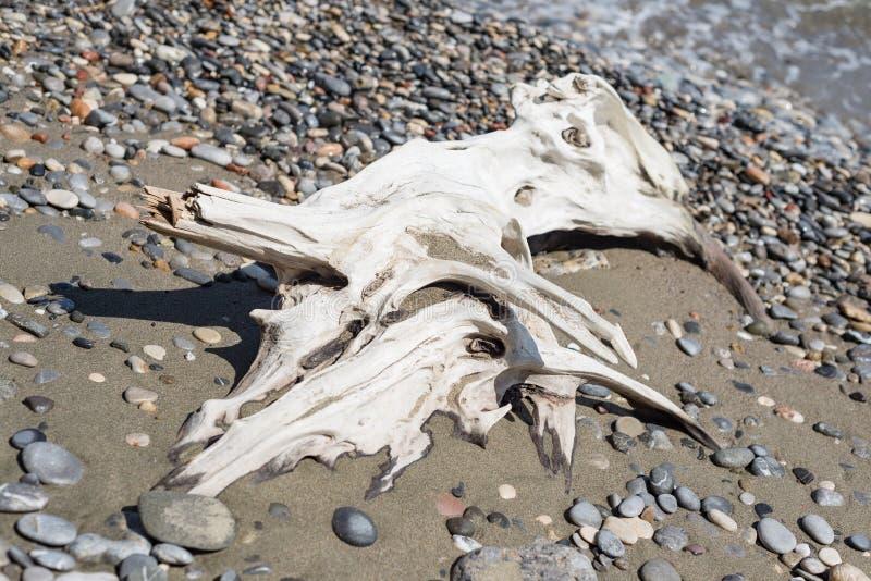A madeira lançada à costa lava para fora o branco de madeira do ramo do tronco de árvore no mar dos seixos da praia fotos de stock
