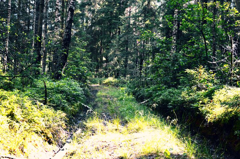 Madeira selvagem mágica e misteriosa Conífero alto e árvores de folhas mortas A manhã pacificada no fundo e na terra do verde flo fotografia de stock royalty free