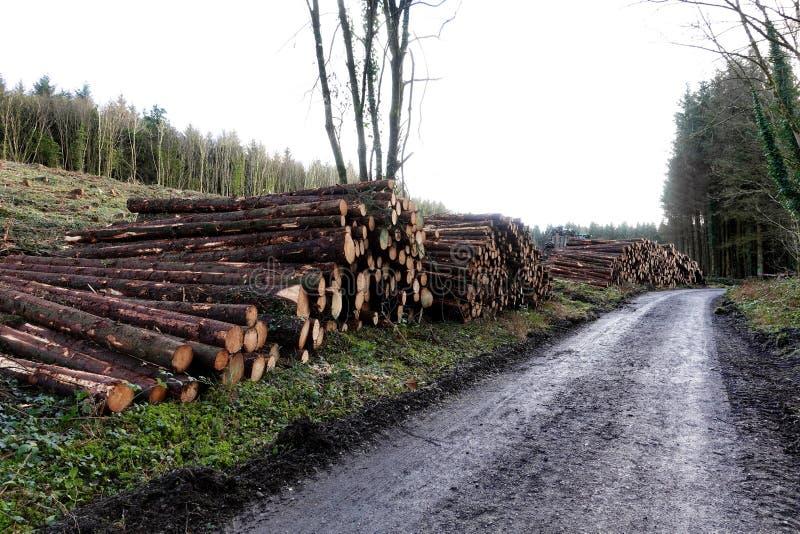 Madeira Spruce que entra a floresta fotos de stock royalty free