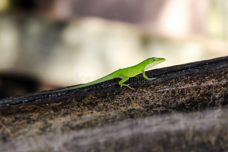 Madeira verde de Brown do lagarto do camaleão fotografia de stock royalty free