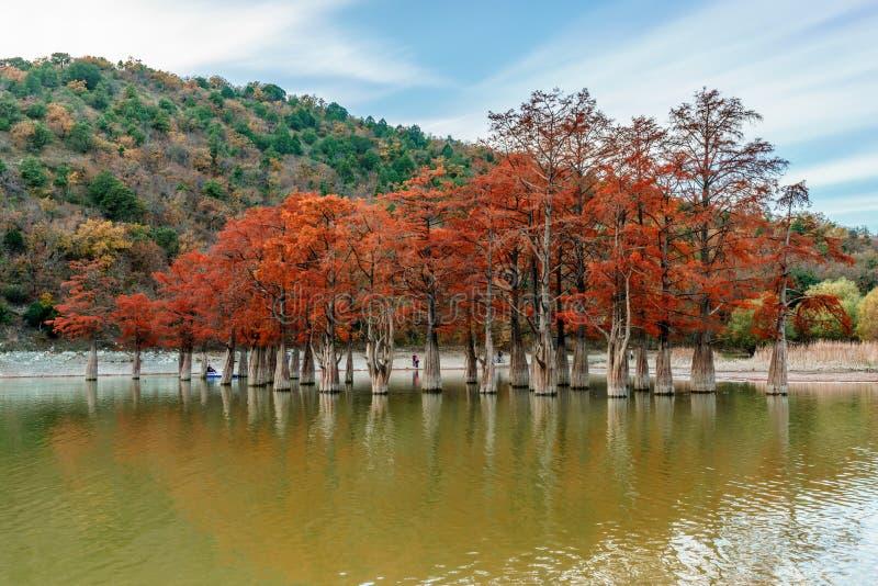 Madeira vermelha alaranjada bonita da árvore de cipreste do pântano pelo lago Sukko, Anapa, Rússia Paisagem cénico do outono fotografia de stock
