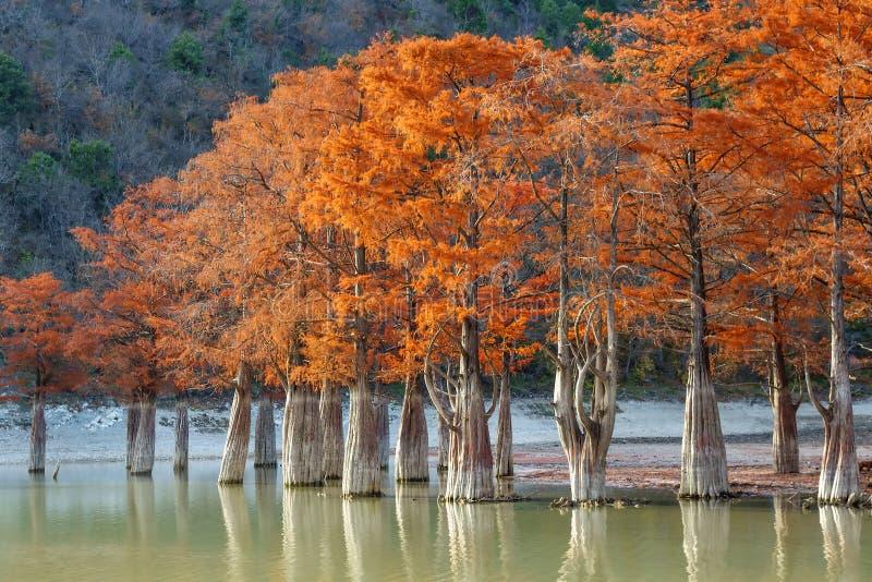 Madeira vermelha bonita do cipreste no lago da montanha em Sukko por Anapa, Rússia Paisagem c?nico do outono Montanhas de C?ucaso fotografia de stock royalty free