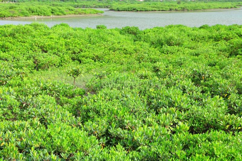 Madeira vermelha dos manguezais imagem de stock