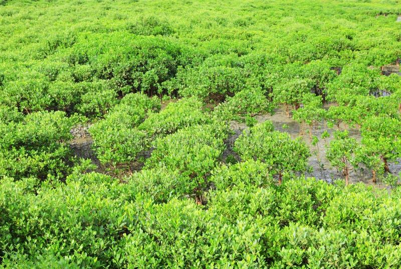 Madeira vermelha dos manguezais fotos de stock