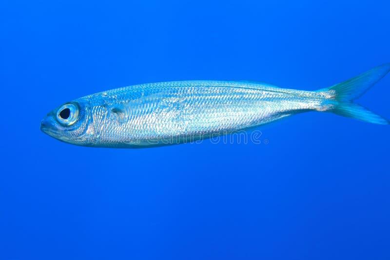 Madeiran sardine. (Sardinella maderensis) in the atlantic ocean stock image