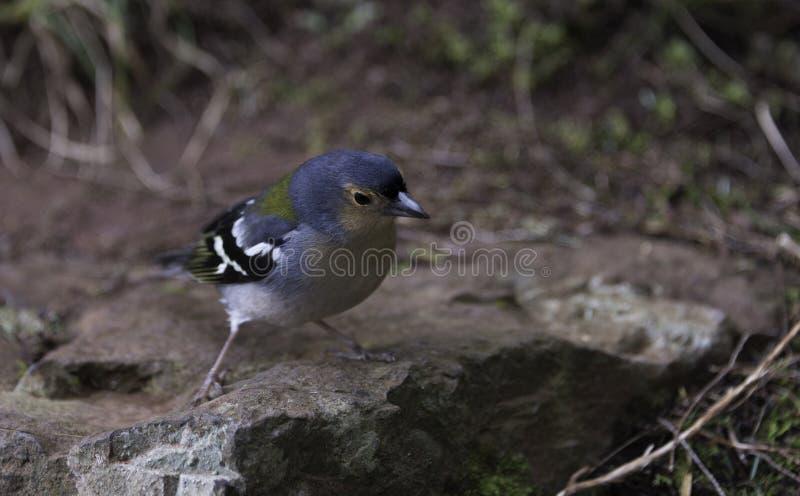 Madeiran vinkvogel op madera royalty-vrije stock foto's