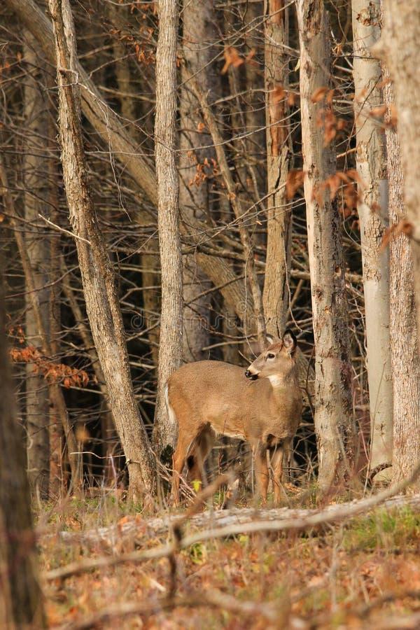 Madeiras da queda da gama dos cervos de Whitetail fotografia de stock