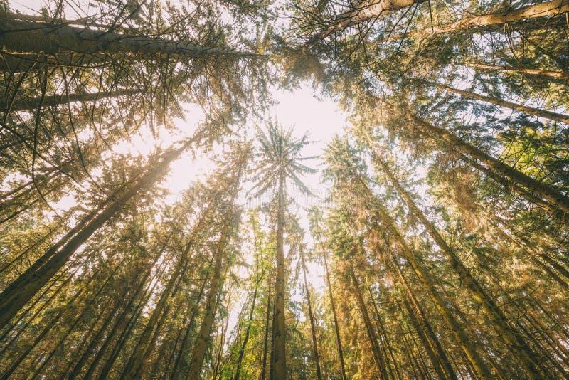 Madeiras de Autumn Pine Coniferous Forest Trees ao dossel Vista inferior fotografia de stock royalty free