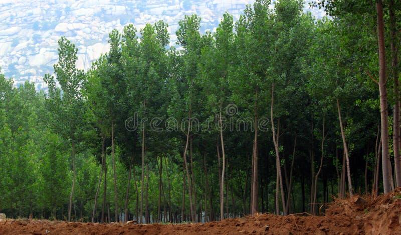 Madeiras do Poplar fotografia de stock royalty free