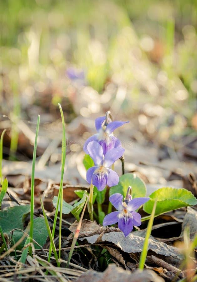 Madeiras selvagens das violetas na primavera fotos de stock royalty free