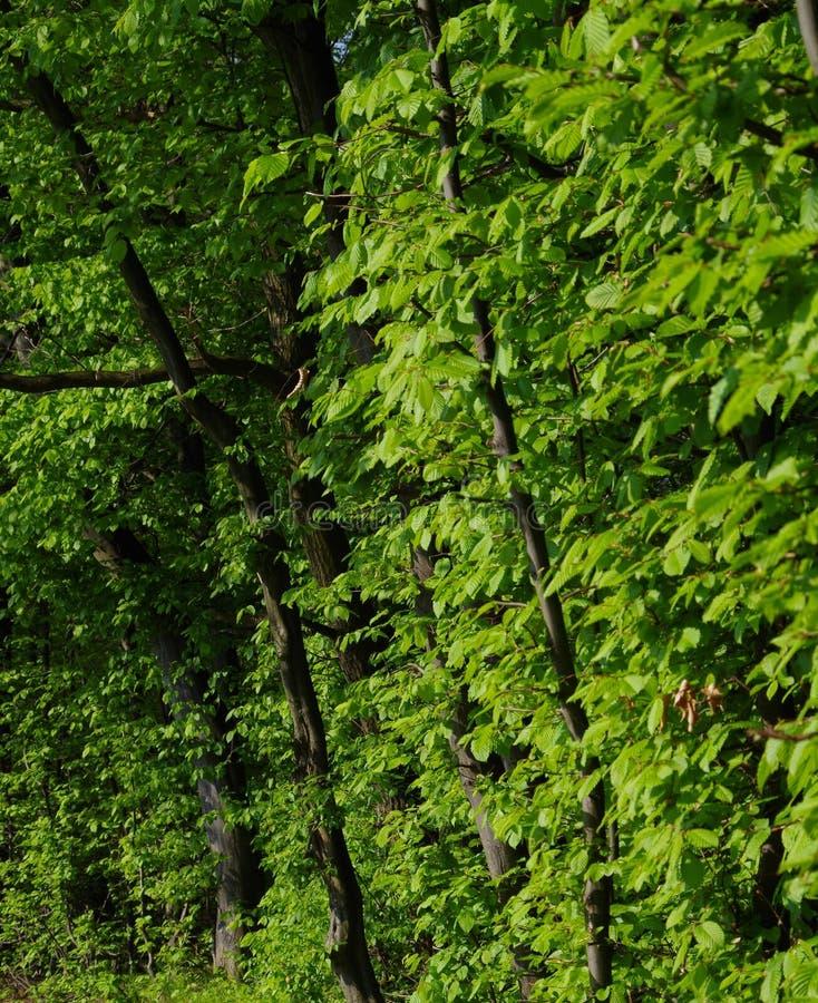 Madeiras verdes no verão foto de stock
