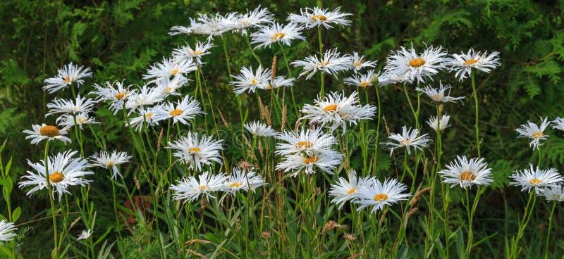 Madeliefje van Leucanthemum het maximumshasta, maximum chrysant, Daisy Crazy, wiel, ketting, chamomel, troepklap in bloembed stock foto