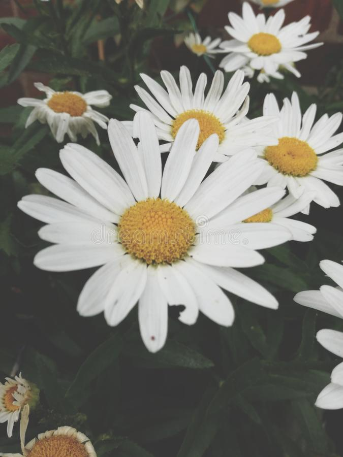 Madeliefjes in de tuin stock foto's