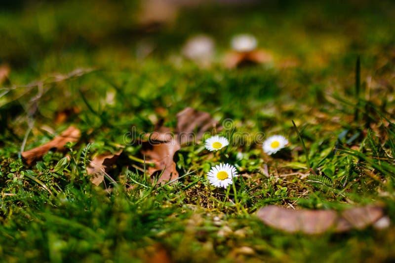 Madeliefjes die in bergen in de lentetijd groeien Bloemen royalty-vrije stock afbeelding