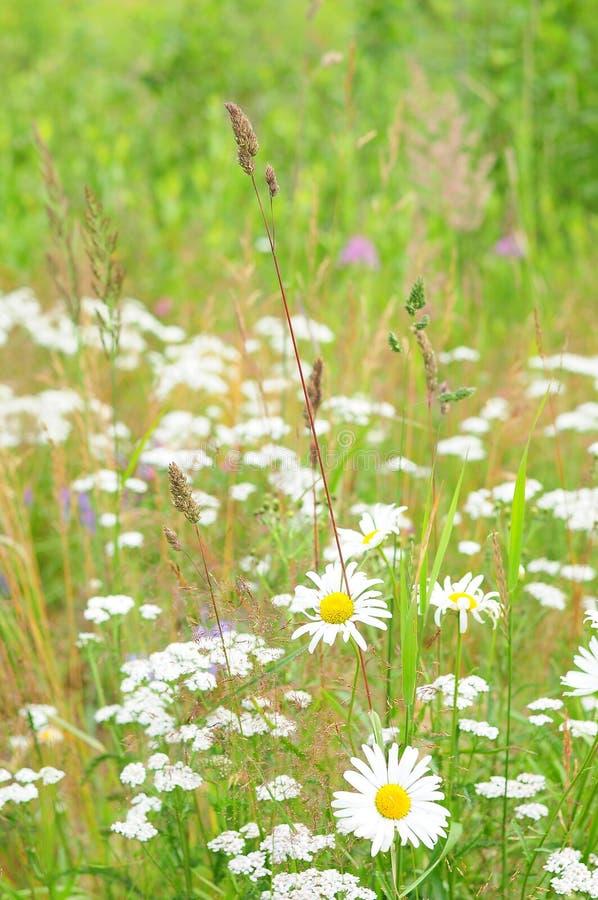 Madeliefjes en andere wildflowers, de zomerweide royalty-vrije stock foto's