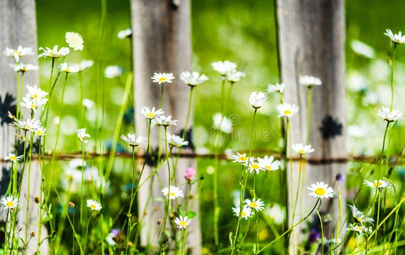Madeliefjes en hydrangea hortensia's die langs houten omheining groeien royalty-vrije stock foto's