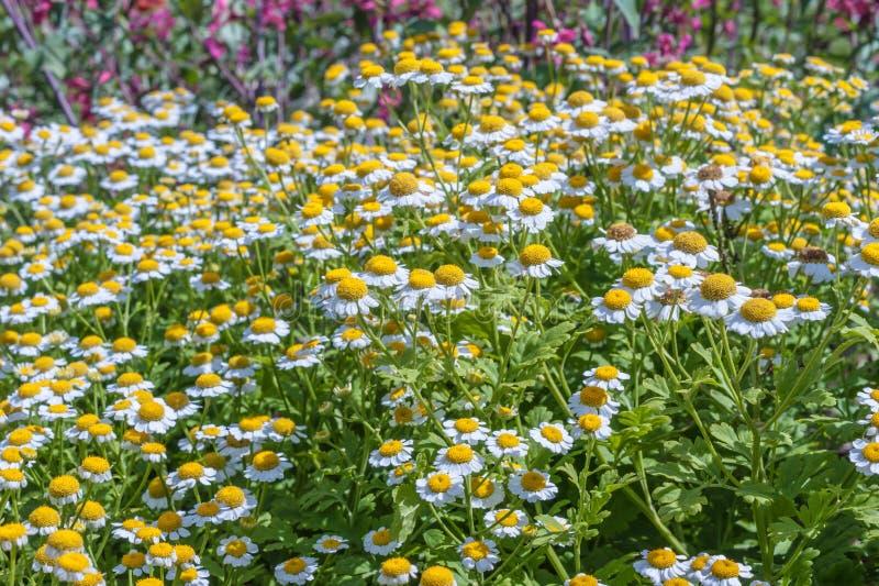 Madeliefjes in het gras royalty-vrije stock fotografie