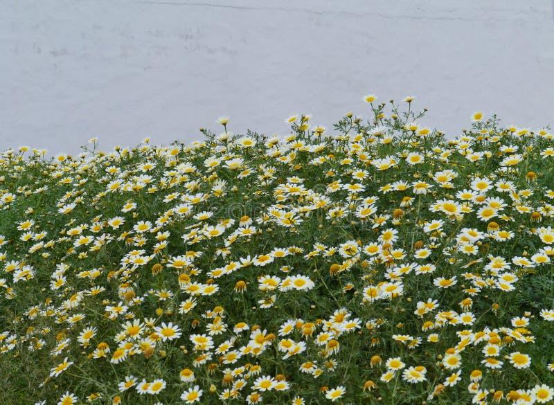 Download Madeliefjes Op Het Vulkanische Gebied Van Fuerteventura Stock Afbeelding - Afbeelding bestaande uit blooming, sier: 54087949