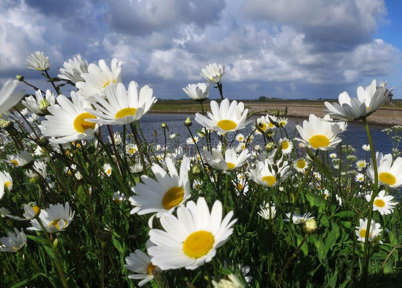 Madeliefjes Texel op ; Marguerite anglaise sur Texel, Pays-Bas photos stock