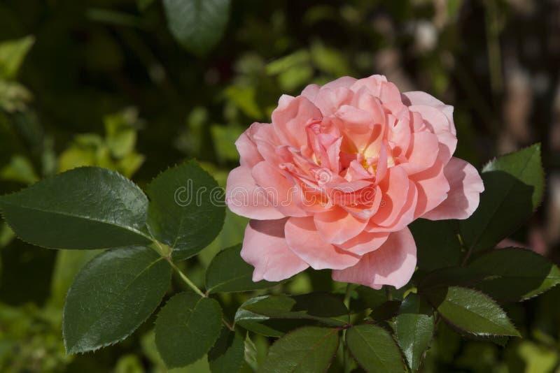 Mademoiselle Caroline Rose stock fotografie