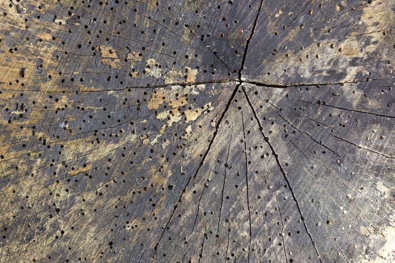 Madera dañada por el woodworm fotografía de archivo libre de regalías
